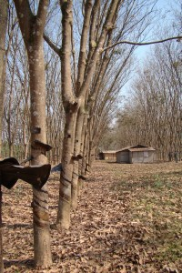 xishuangbanna rubber plantation