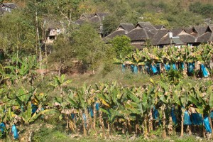 xishuangbanna banana plantations