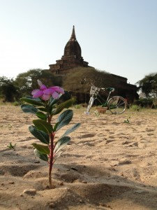 bagan temple desert rose