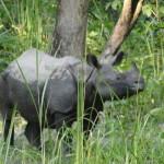 Charging Rhinos in Chitwan