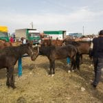Where to Buy a Kyrgyz Horse