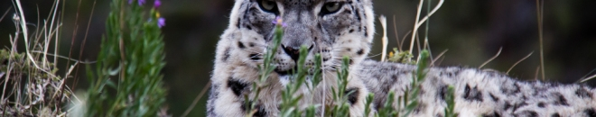 Snow Leopard Images from Kyrgyzstan