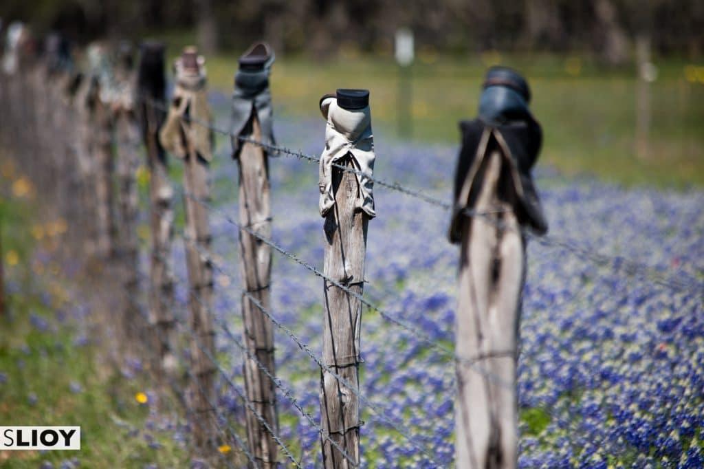 March Texas Bluebonnets